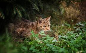 山猫, 草, 森