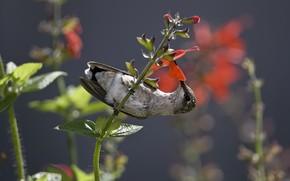 колибри, птичка, птица, стебель, цветок, нектар, еда