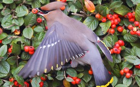 Waxwing, bird, Berries, bush, leaves, feed, plumage