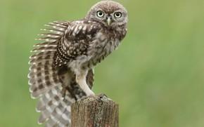 сова, птица, пень, сидя, тянется, крыло, перья