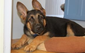 German shepherd, puppy, ears