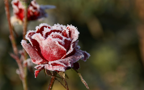 roses, rime, cold