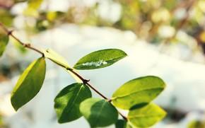 ветка, листья, боке, фон