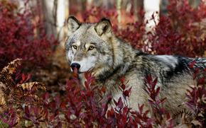 loup, voir, usine, feuillage