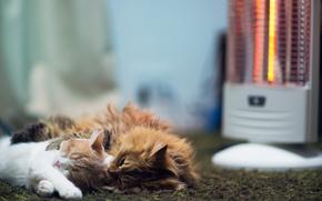 Gatos, andar, dormir, aquecedor, tapete