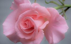 rosa, Petali, tenerezza, Macro