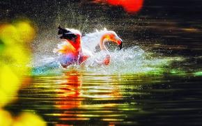 Вода, озеро, фламинго, птица, купание