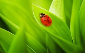 лист, насекомое, божья коровка