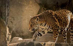 giaguaro, wildcat, predatore