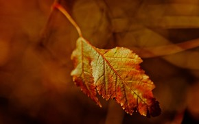 лист, осень, клен