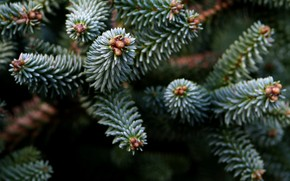 nature, spruce, branch, Trees, needles, needles