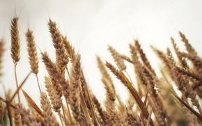 spighette, grano, Macro