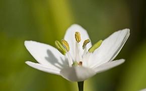 flower, white, macro, pollen