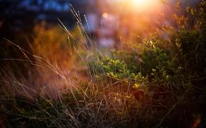 hierba, arbustos, verduras, Macro, puesta del sol
