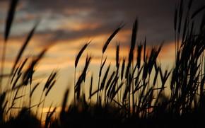 sera, tramonto, erba, spighette, silhouette