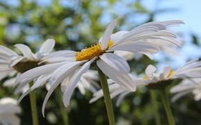 ромашка, ромашки, лепестки, лепесток, лето, цветы