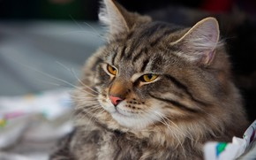 cat, striped, is