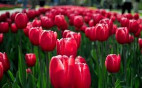 Tulipani, rosso, primavera, fiori, aiuola