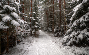foresta, abete rosso, conifero, inverno, neve, tracce, traccia