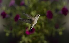 птица, птичка, колибри, фокус, размытость