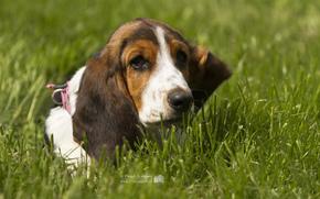 Бассет-хаунд, пёс, трава