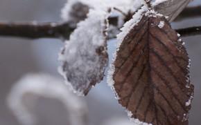 лист, холод, зима, снег, сухой, ветка