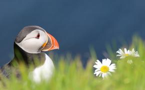 Птица, Атлантический тупик, взгляд, профиль, трава, цветы, ромашки, синий фон, размытость