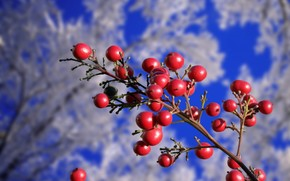 branch, Berries, red, rime, Winter, autumn, Trees