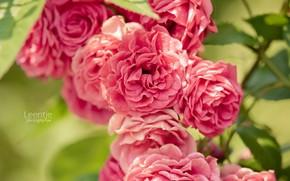 розовый куст, розы, лепестки