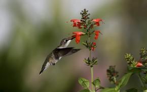 птица, колибри, цветы, нектар