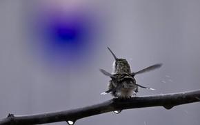 птица, колибри, ветка, спиной, капли, встряхивается