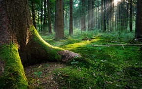 tree, forest, the roots, sun, grass, leaves, moss, light, rays of the sun