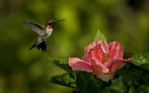 птица, колибри, цветок, розовый, фокус, зелень, природа