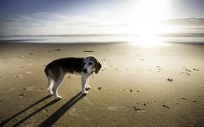 собака, море, фон