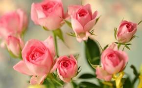 розы, бутоны, розовые, цветы
