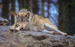 wolf, nature, forest