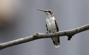 колибри, птица, ветка, фокус