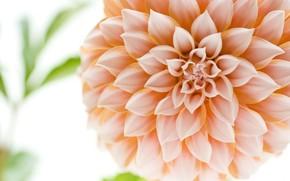 цветок, макро, георгин