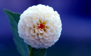 dahlia, flower, white, blue, background