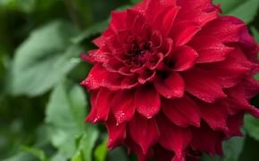 цветок, георгин, красный, макро