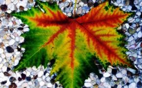лист, макро, камни, камушки, прожилки, кленовый
