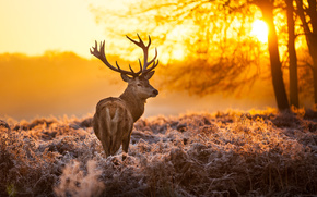 Deer, Horn, animal, nature, forest, Trees, sun, sunset
