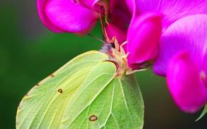 бабочка, цветок, нектар, крылья, зеленая