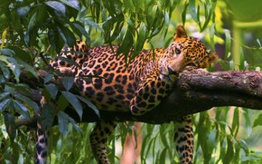 leopard, tree, leaves, predator, recreation