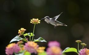 колибри, цветы, солнечно, нектар, птица
