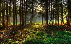 foresta, alberi, erba, natura