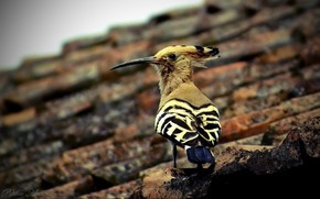 Hoopoe, bird, tile, city