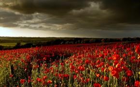 fiori, Papaveri, cielo, paesaggio