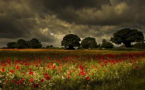 campo, Papaveri, paesaggio