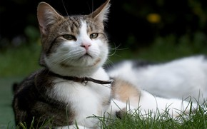 Katze, Kote, Gras, Schnauze, Kragen, Glocke